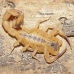 Escorpião amarelo: Tityus-stigmurus