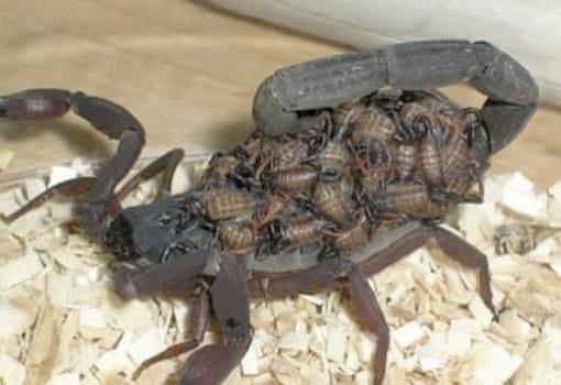 Escorpiões: Veneno, Morfologia, Biologia e Prevenção