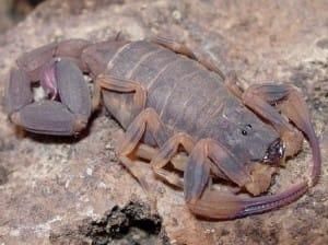 Escorpião em repouso