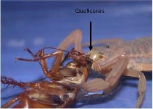 Escorpiões são predadores de vários insetos