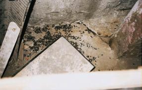 Infestação de Ratos e Ratazanas