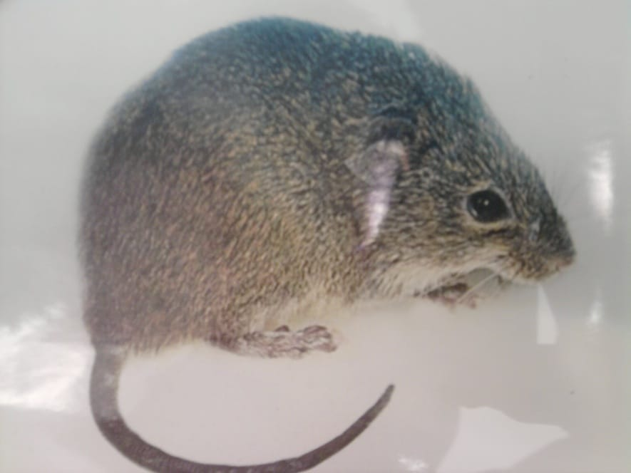 Rato do Capim e o Hantavirus