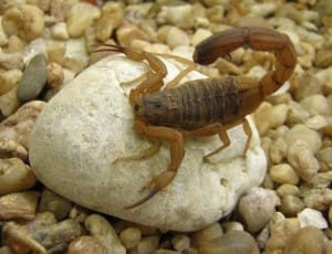 Espécie de Escorpião Tityus-serrulatus
