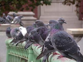 Proteína Inibe a Criptococose, Infecção Fúngica Causada por Pombos