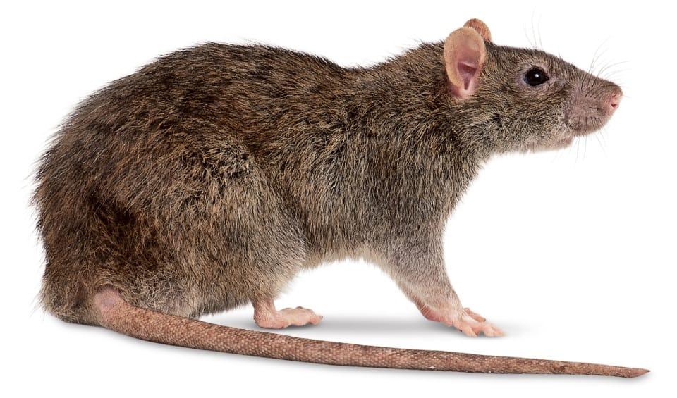 São Paulo Convive Com Três Tipos de Roedores: Camundongos, Ratos de Telhado e Ratazanas