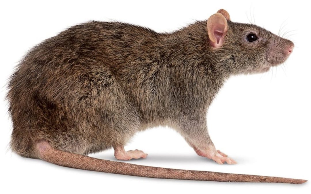 Diferença Entre Ratazana e Rato