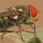 Pesquisa descreve o mecanismo de moscas varejeirasusarem gotículas de saliva para resfriar a temperatura de seus corpos e propõe abordagem matemática para o fenômeno