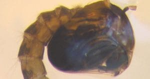 Anopheles cruzii, estágio pupar – Foto Wikipedia