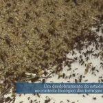 Pesquisa internacional investiga as relações de simbiose e parasitismo estabelecidas entre as saúvas e outras formigas cortadeiras com dois gêneros de fungos.