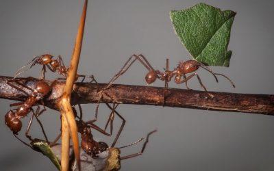 Formigas Saúvas Aceleram Corte e Transporte de Folhas Diante de Ameaça de Chuva e Vendaval